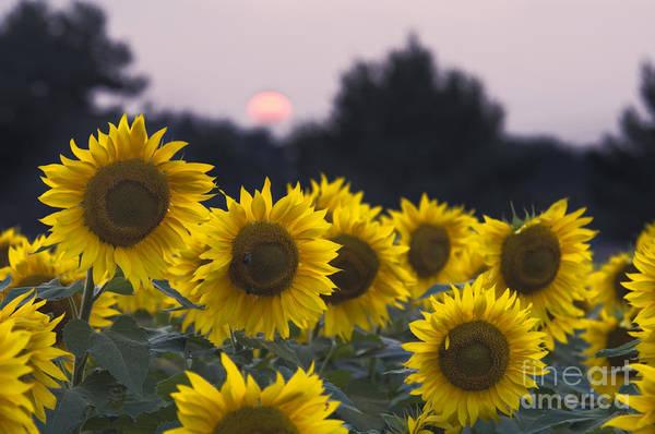 Wall Art - Photograph - Sunflower Sunset - D008554 by Daniel Dempster