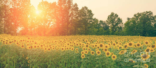 Michael Photograph - Sunflower Sunset by Michael Ver Sprill