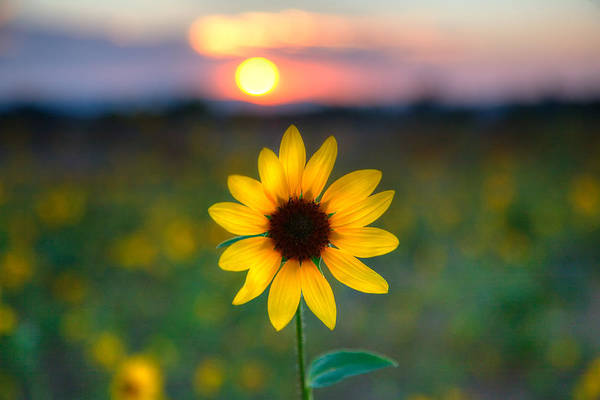 Sunflowers Photograph - Sunflower Sunset by Peter Tellone