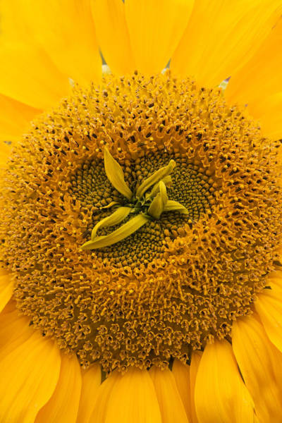 Photograph - Sunflower by Susan Leonard