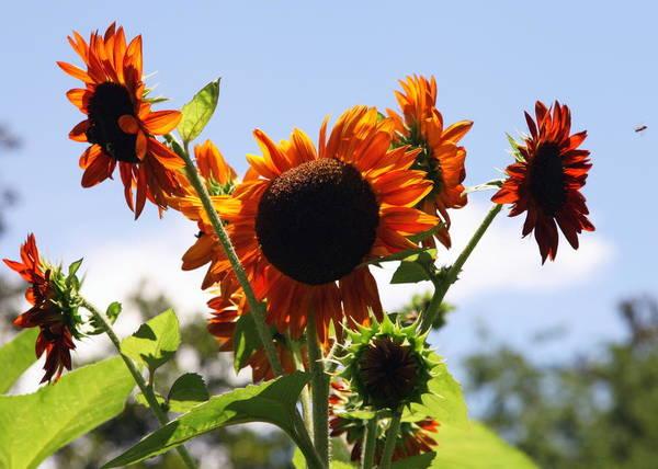 Sunflower Seeds Photograph - Sunflower Symphony by Karen Wiles