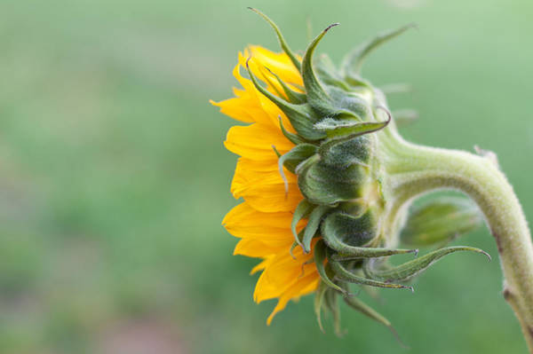 Photograph - Sunflower by Terry DeLuco