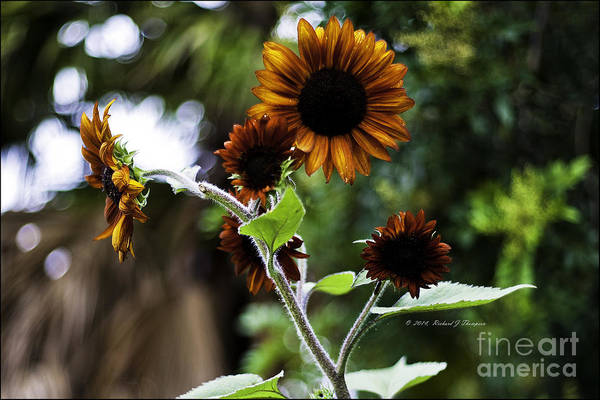 Photograph - Sunflower V. 'velvet Queen' by Richard J Thompson