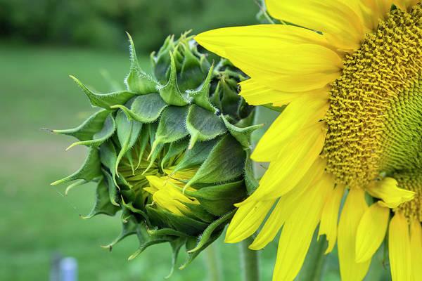 Asteraceae Photograph - Sunflower, Vermont, Usa by Lisa S. Engelbrecht