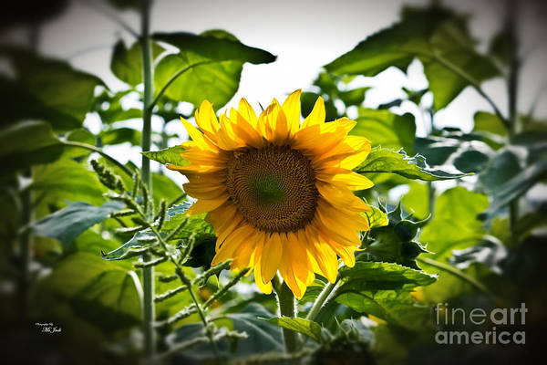 Sunflower Vignette Edges Art Print