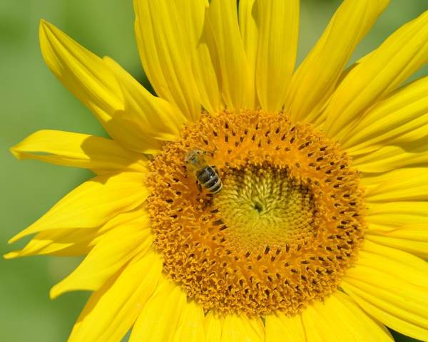 Photograph - Sunflower With Bee On It by Toby McGuire