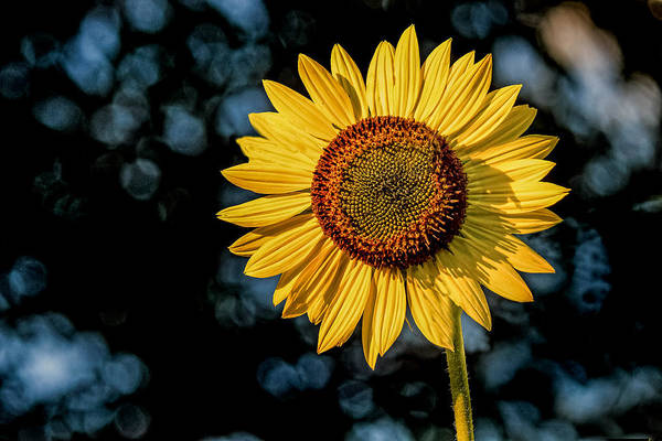 Photograph - Sunflower With Bokeh by Jerry Gammon