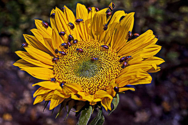 Lady Bug Wall Art - Photograph - Sunflower With Ladybugs by Garry Gay