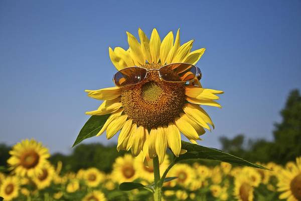 Sunflower With Sunglasses Art Print
