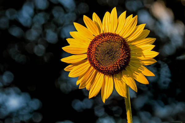 Photograph - Sunflower With Tree Bokeh by Jerry Gammon