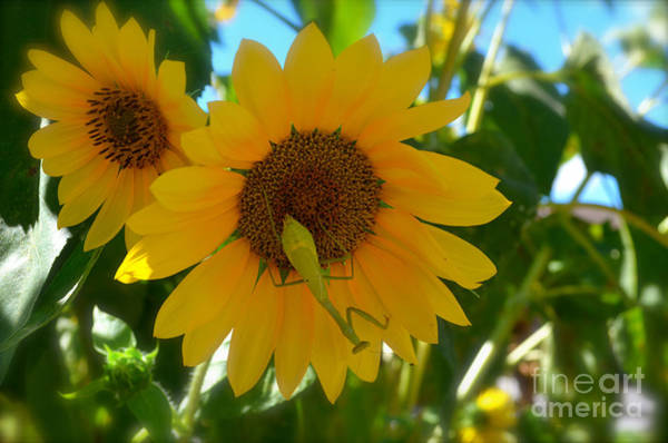 Sunflower Seeds Photograph - Sunflower With Upside Down Visitor by Luther Fine Art