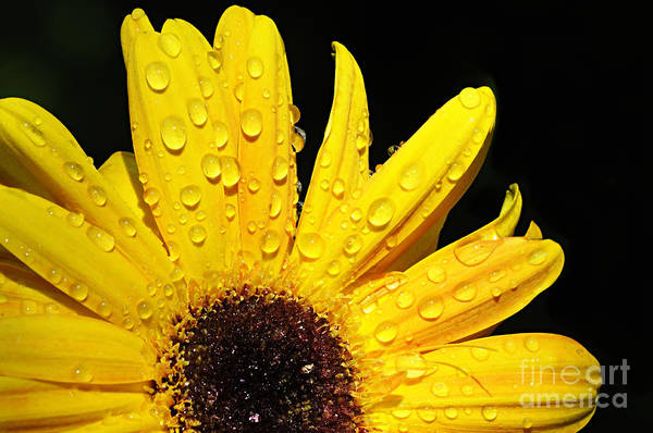 Photograph - Sunflower With Water Drops by Larry Ricker