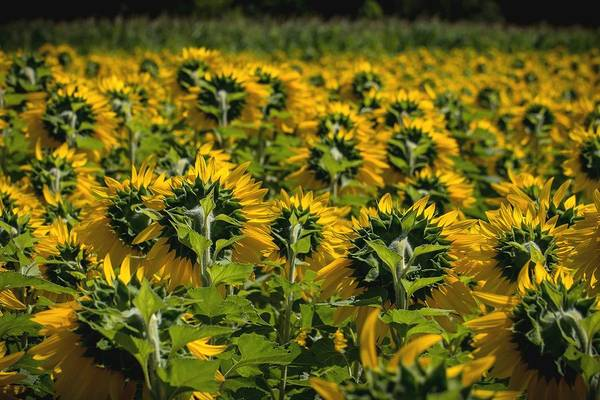 Wall Art - Photograph - Sunflowers 4 by Barbara J