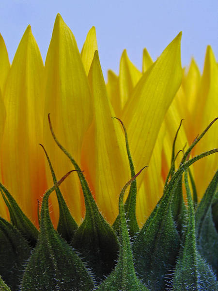 Floret Wall Art - Photograph - Sunflowers After Hours by Juergen Roth