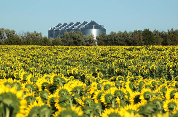 Photograph - Sunflowers And Silos by Rob Huntley