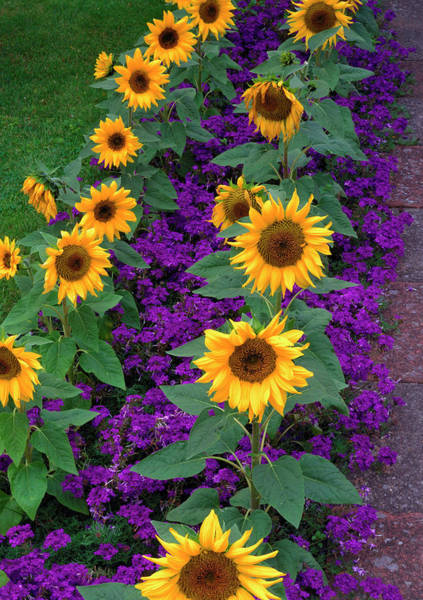 Helianthus Annuus Photograph - Sunflowers And Verbena by The Picture Store/science Photo Library