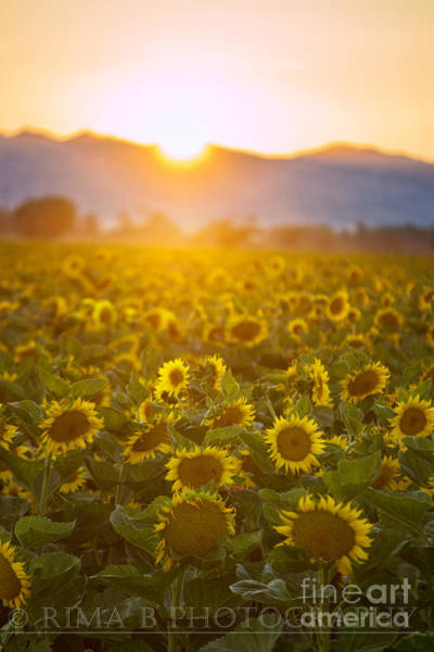 Photograph - Sunflowers At Sunset by Rima Biswas