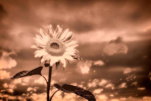 Wall Art - Photograph - Sunflowers by Bob Orsillo