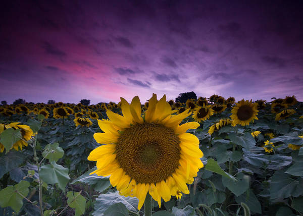 Wall Art - Photograph - Sunflowers by Cale Best