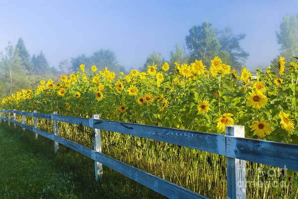 Wall Art - Photograph - Sunflowers During An Early Morning Fog. by Don Landwehrle