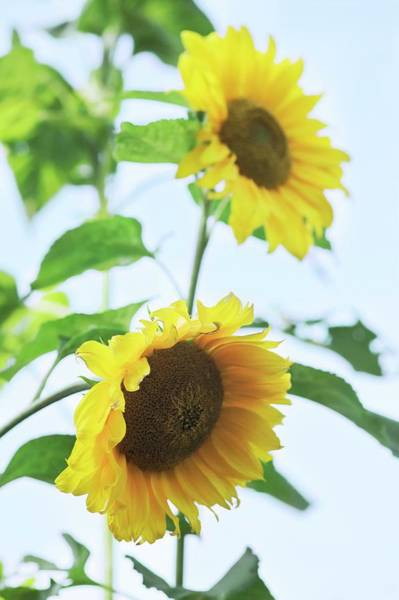 Wall Art - Photograph - Sunflowers (helianthus Sp.) by Gustoimages/science Photo Library