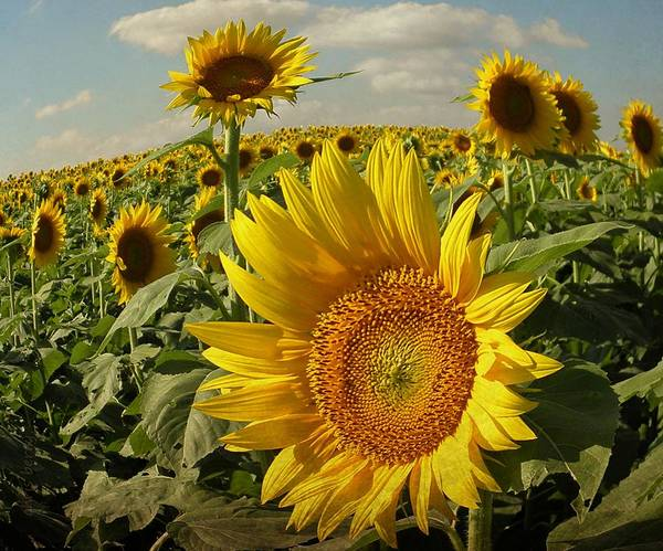 Blue Berry Photograph - Kansas Sunflowers by Chris Berry