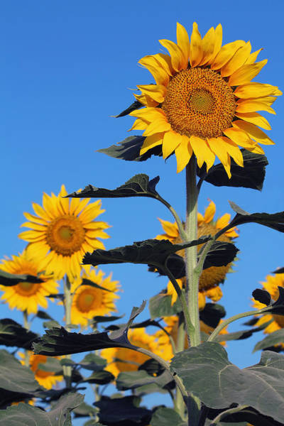 Photograph - Sunflowers In Bloom by Susan Schroeder