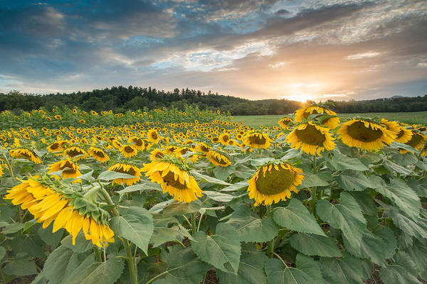 Photograph - Sunflowers In The Field by Joye Ardyn Durham