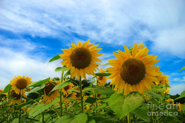 Photograph - Sunflowers by Mark Dodd