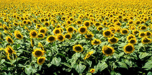 Photograph - Sunflowers by Matthew Pace