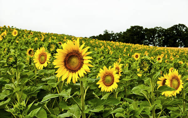 Photograph - Sunflowers On A Hill by Christi Kraft