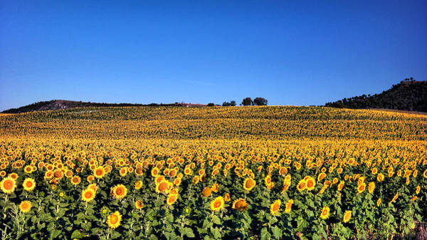 Photograph - Sunflowers by Pedro Fernandez