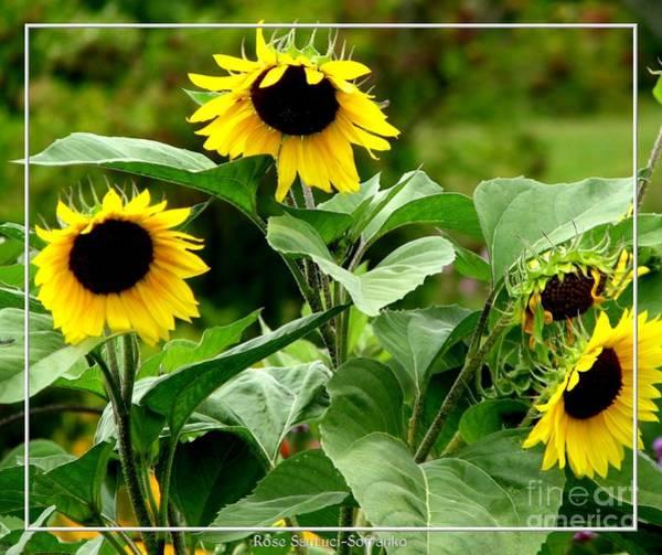 Photograph - Sunflowers by Rose Santuci-Sofranko