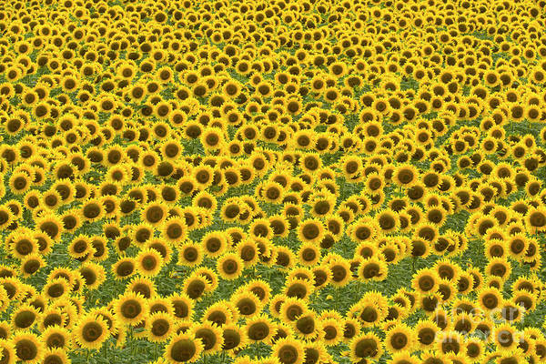 Photograph - Sunflowers Kansas by Yva Momatiuk John Eastcott