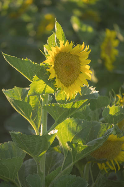 Photograph - Sunlight And Sunflower 3 by Rima Biswas
