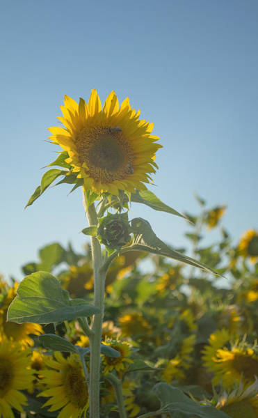 Photograph - Sunlight And Sunflower2 by Rima Biswas
