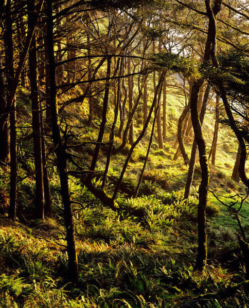 Ecola State Park Photograph - Sunlight On Fern Plants Growing In by Panoramic Images