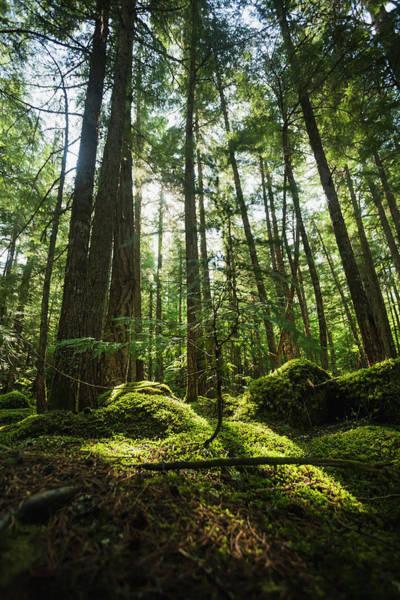Cedar Tree Photograph - Sunlight Streaming Through Cedar Trees by Joel Koop / Design Pics