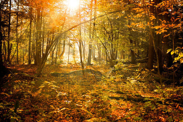Photograph - Sunlight Through An Autumn Forest by Chris Bordeleau
