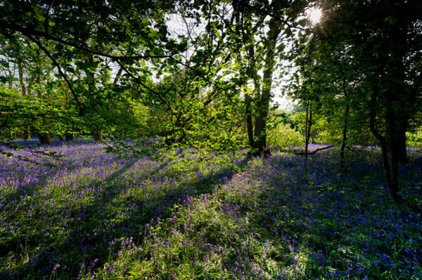 Photograph - Sunlit Bluebells by Gary Eason