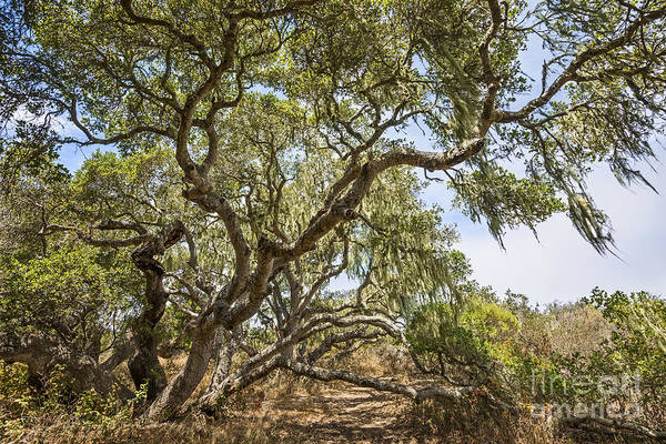 Coast Live Oak Photograph - Sunlit Forest - Magical Trees Of The Los Osos Oak State Reserve by Jamie Pham