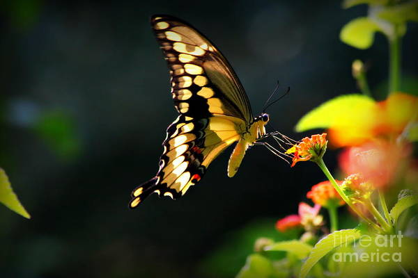Photograph - Sunlit Giant Swallowtail Butterfly by Reid Callaway