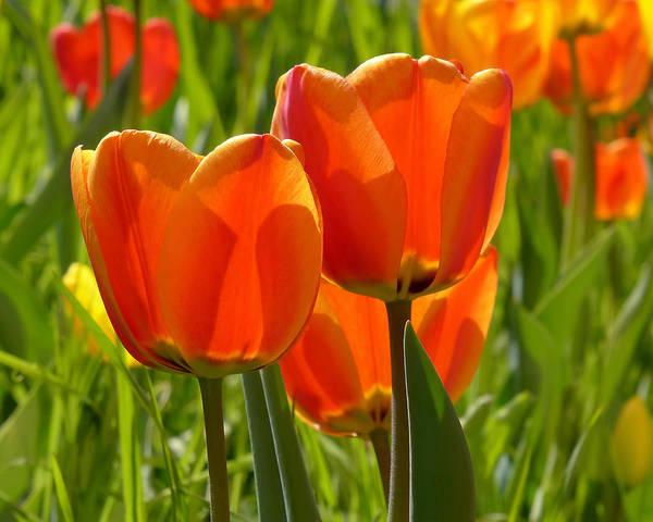 Photograph - Sunlit Orange Tulips by Rona Black