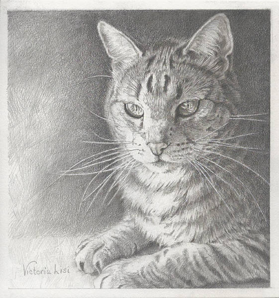 Drawing - Sunlit Tabby Cat by Victoria Lisi
