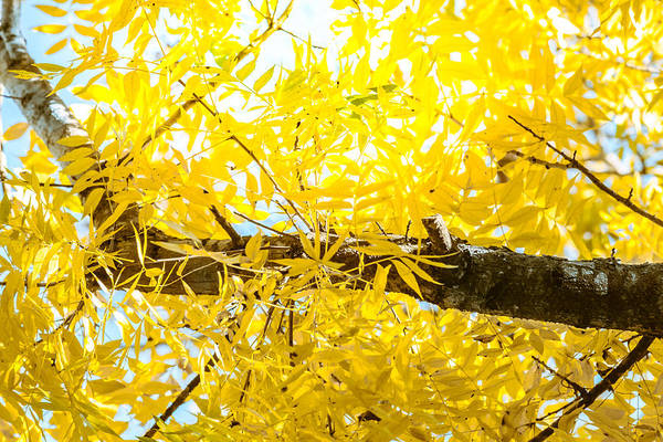 Photograph - Sunlit Yellow Autumn by Melinda Ledsome