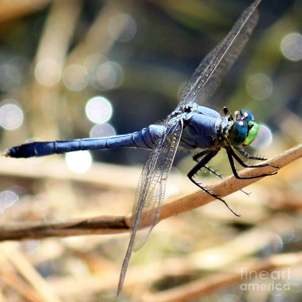 Blue Dragonfly Photograph - Sunning Blue Dragonfly Square by Carol Groenen