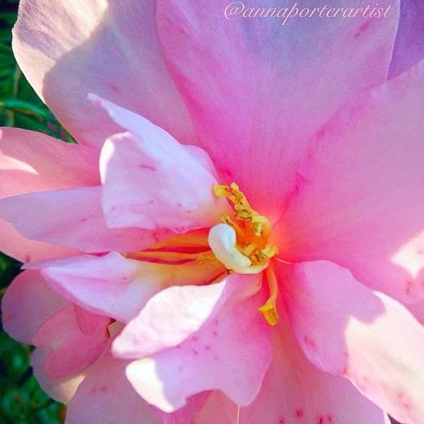 Petals Wall Art - Photograph - Sunny Camellia by Anna Porter