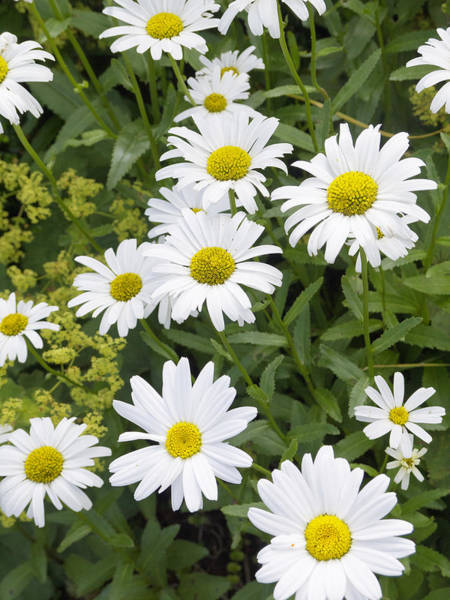 Photograph - Sunny Days And Daisies by Brenda Kean