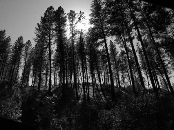 Photograph - Sunny Line Of Trees by Tarey Potter