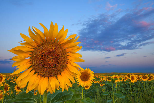 Sunflower Field Photograph - Sunny Side Up by Darren  White